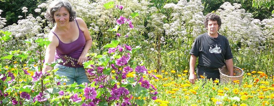 Catherine et Vincent : cueillette des fleurs de Mauves et de Soucis (Calendula)