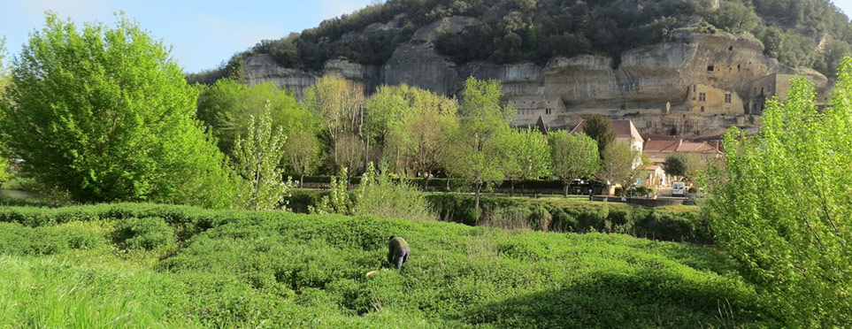 cueillette d'ortie sous les falaises et grottes des Eyzies