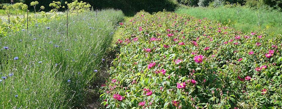 Bleuets et Roses de Provins