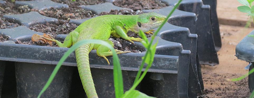 le « dragon-lézard » protège nos semis