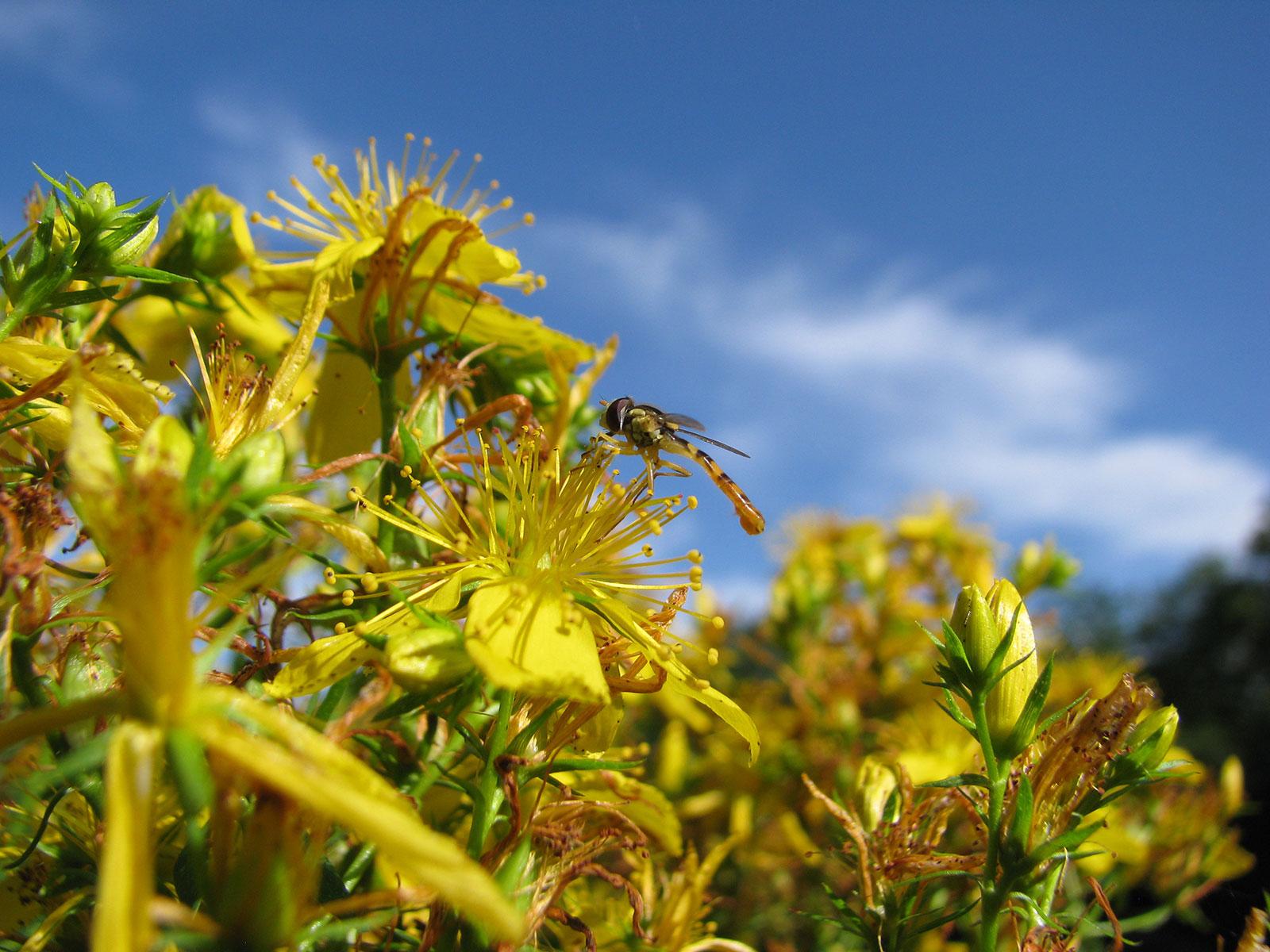 millepertuis-en-fleurs