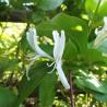 Chèvrefeuille 310  Elixirs floraux