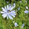 Chicorée 311  Elixirs floraux
