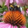 Echinacée 313  Elixirs floraux