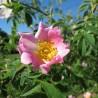 Eglantier 314  Elixirs floraux