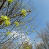 Ahorn 315  Blumenelixiere