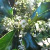 Stechpalme 317  Blumenelixiere
