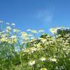 Matricaire camomille 318  Elixirs floraux