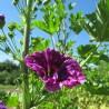 Malve 319  Blumenelixiere