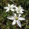 Ornithogale (étoile de Bethléem) 323  Elixirs floraux