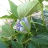 Passiflore 325  Elixirs floraux