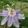 Passionsblume 325  Blumenelixiere