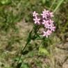 Petite centaurée 327  Elixirs floraux