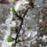 Schwarzdorn 329  Blumenelixiere