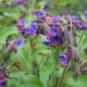 Pulmonaire 331  Elixirs floraux