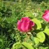 Rose (aus Provinz) 333  Blumenelixiere