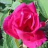 Rose (de Provins) 333  Elixirs floraux