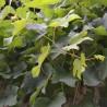 Vigne 338  Elixirs floraux