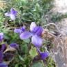 Violett 339  Blumenelixiere