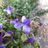 Violette 339  Elixirs floraux