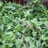 Marokkanische Minze 152  plantes à tisane