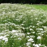 Schafgarbe 182  plantes à tisane