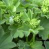 Alchémilla 183  plantes à tisane