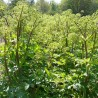 Engelwurz 185  plantes condimentaires