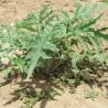 Artischocke 188  plantes à tisane