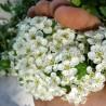 Hagedorn 190  plantes à tisane