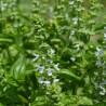 Basilikum 193  plantes condimentaires