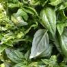 Basilic 193  plantes condimentaires
