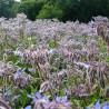 Borretsch 197  plantes à tisane