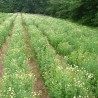 Kamillenfieber (Matricaria) 199  plantes à tisane