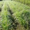 Citronnelle (Lemongrass) 205  plantes condimentaires