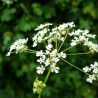 Coriandre 206  plantes condimentaires