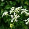 Koriander 206  plantes condimentaires