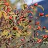 Hagebutte (Eglantier) 207  plantes à tisane