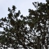 Zypresse 208  plantes à tisane