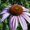 Echinacea 209  plantes à tisane