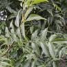 Asche 217  plantes à tisane