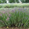 Hysope 222  plantes condimentaires