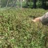 Boden Efeu 225  plantes à tisane