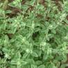 Marjolaine 226  plantes condimentaires