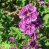 Malve 227  plantes à tisane