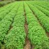 Melisse 228  plantes à tisane