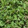 Zitronenminze (Bergamotte Minze) 229  plantes à tisane