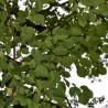 Hasel 234  plantes à tisane