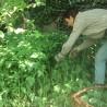 Nessel 239  plantes à tisane