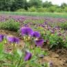 Ackerstiefmütterchen 241  plantes à tisane